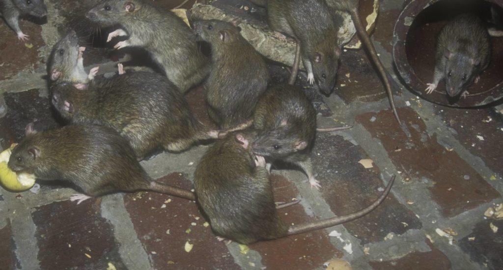 уничтожение крыс в Саранске